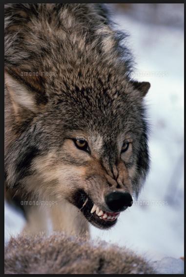 狼の顔のイラストを描いてくださる方募集 白黒 ワンポイント